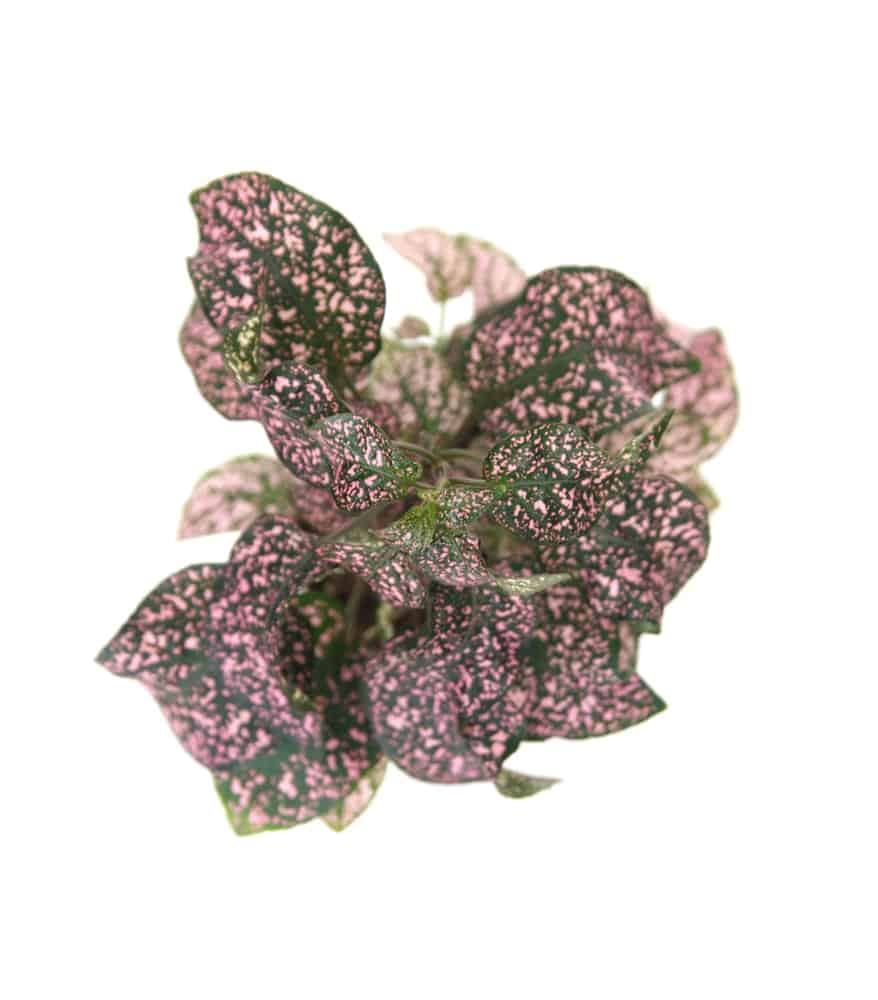 Pink Brocade; a variety of the polka dot plant