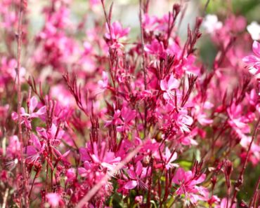 A close-up image of pink gaura flowers