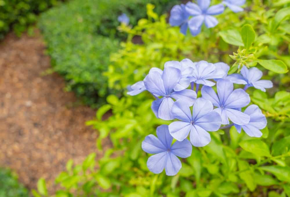 Blue Plumbago or Cape Leadwort