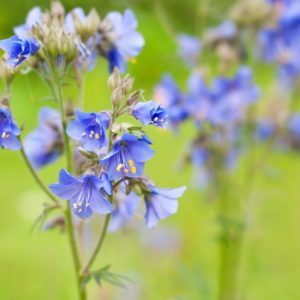 Beautiful Polemonium flowers