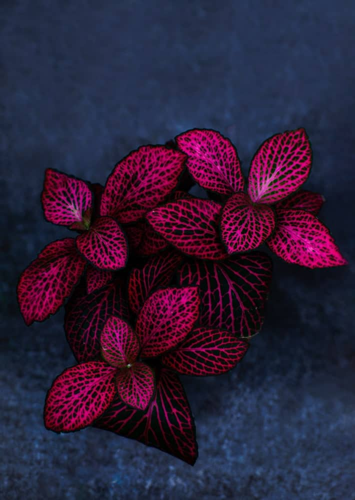 Red splash; a variety of the polka dot plant
