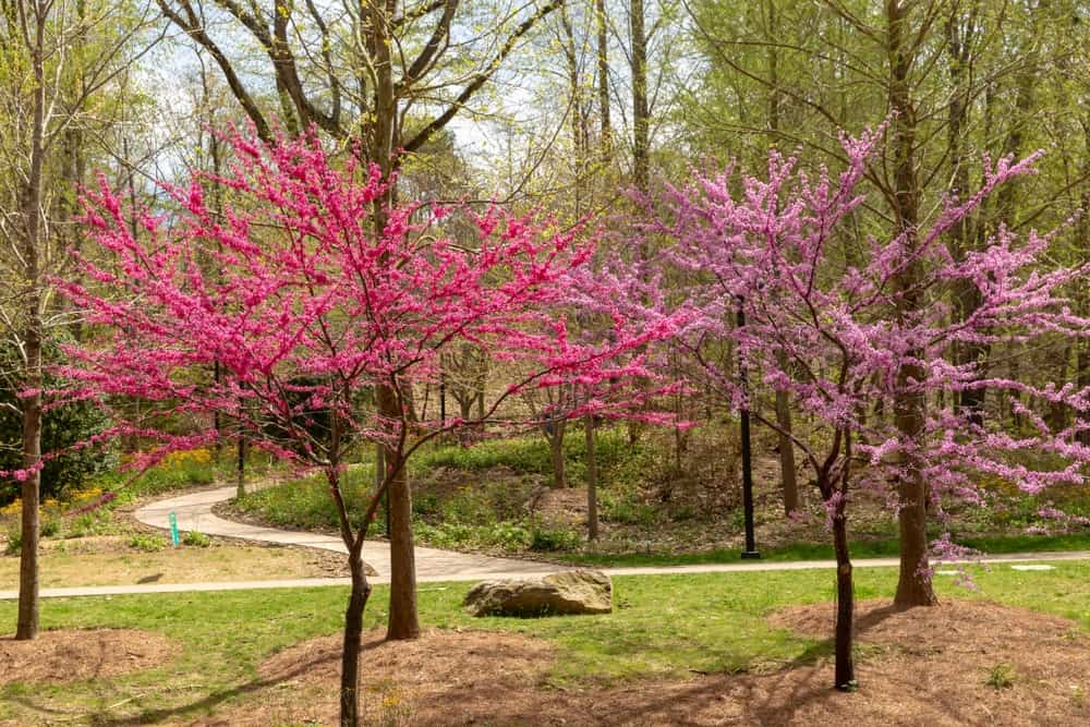Redbud trees blooming in the spring