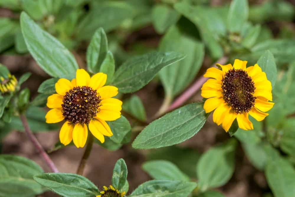 Two Sanvitalia procumbens flowers