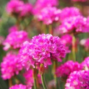 Purple Sea Thrift flower
