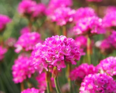 Purple Sea Thrift flower