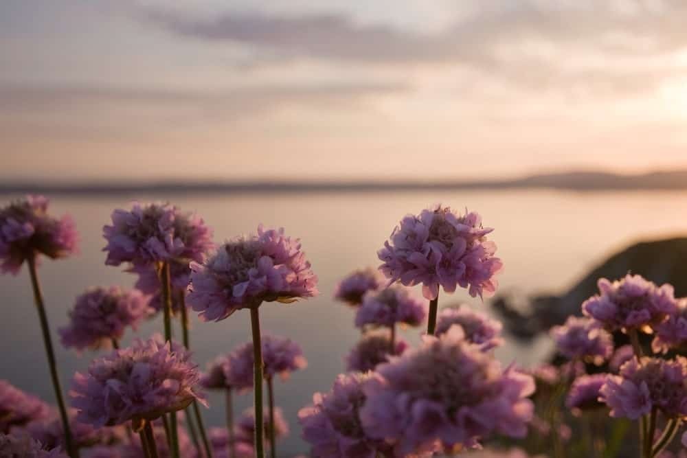 Purple sea thrift flowers next to the sea