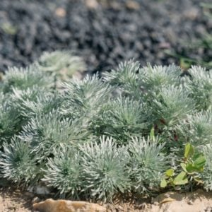 Silvermound plant in a sandy area.