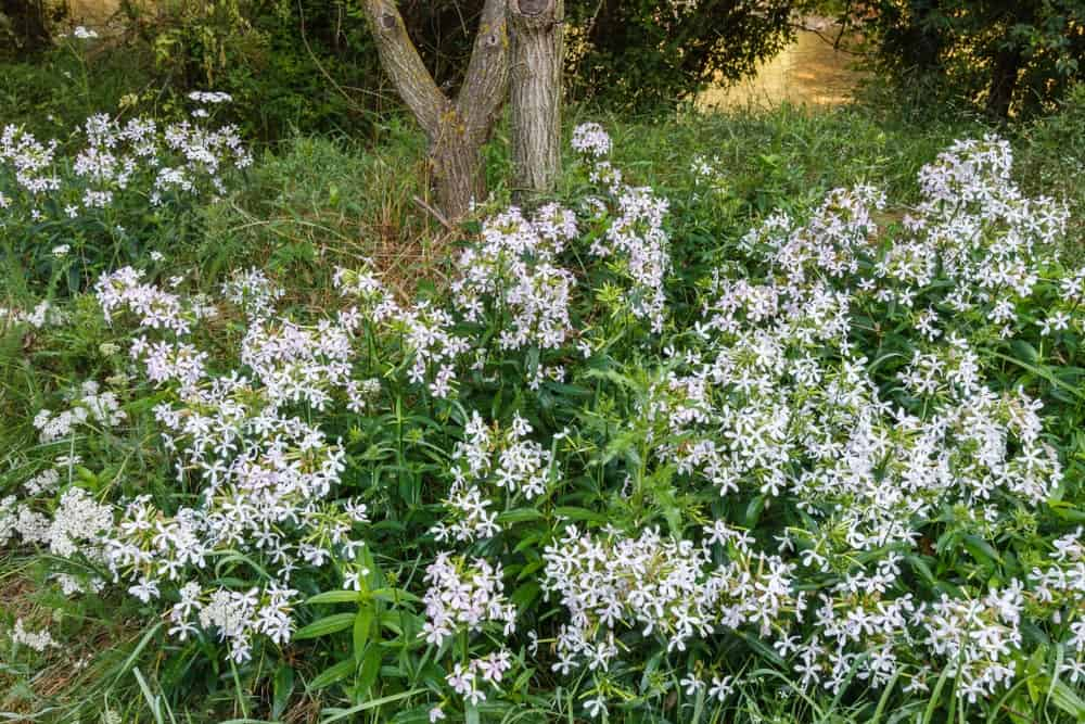 Snow Tip; a variety of the rock soapwort plant