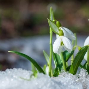 Beautiful snowdrop flowers in the cold