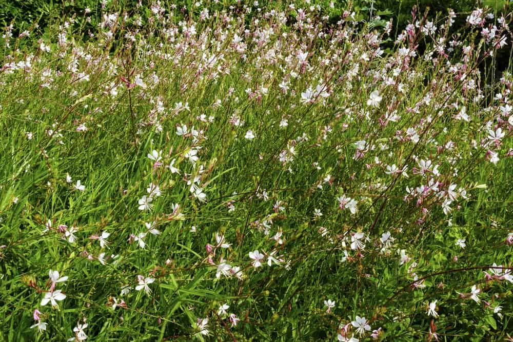 Sparkle White; a variety of the gaura plant