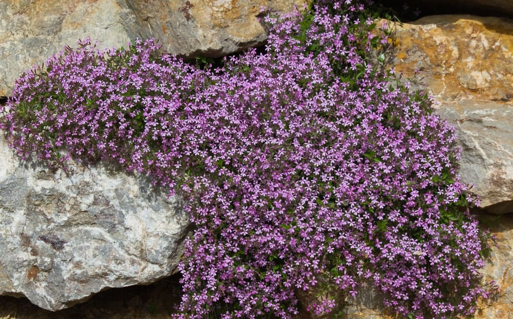 Splendens; a variety of the rock soapwort plant