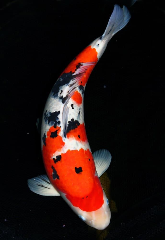 White, orange, and black-colored Taisho Sanke koi fish
