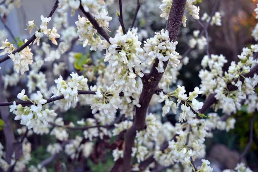 Pristine white flowers of the Texas redbud tree