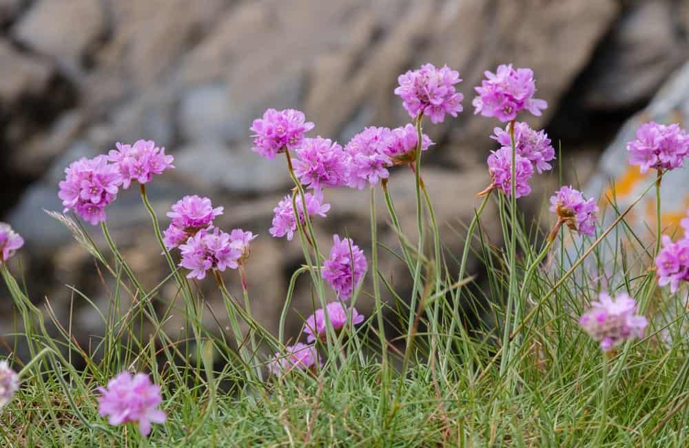 Armeria maritima ssp maritime blooming
