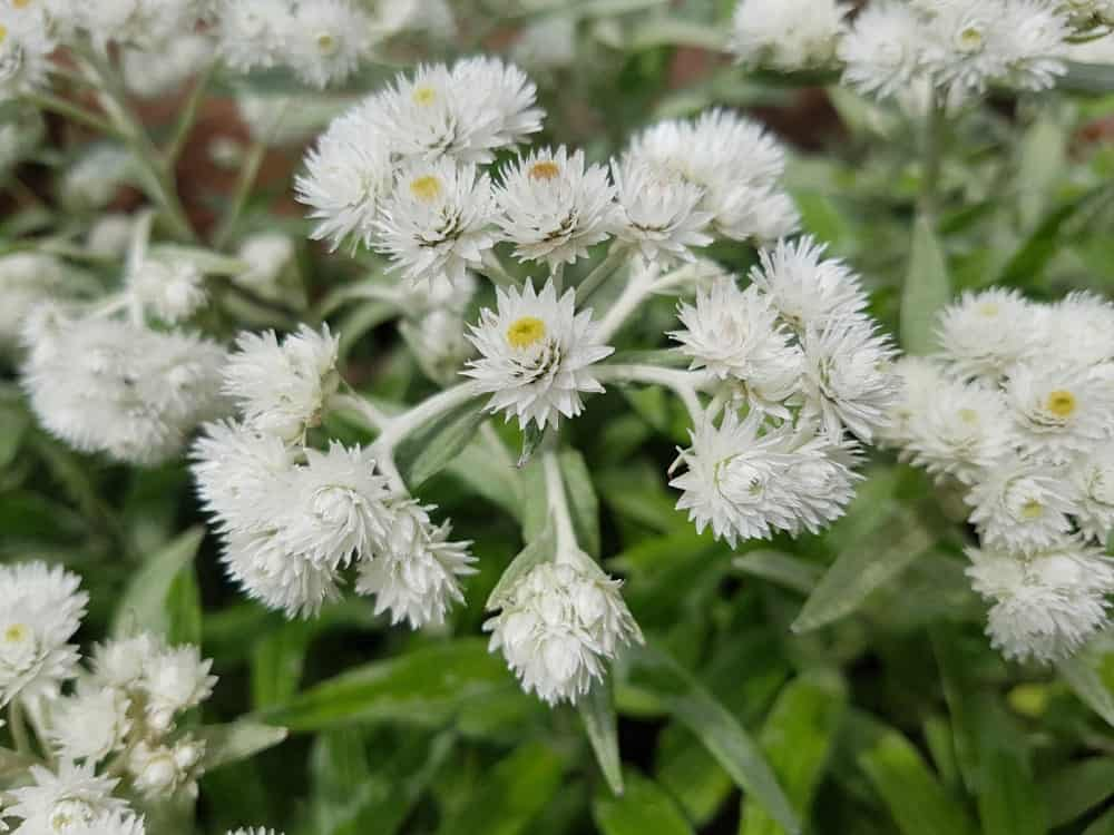 Three-veined everlasting; a variant of the pearly everlasting plant