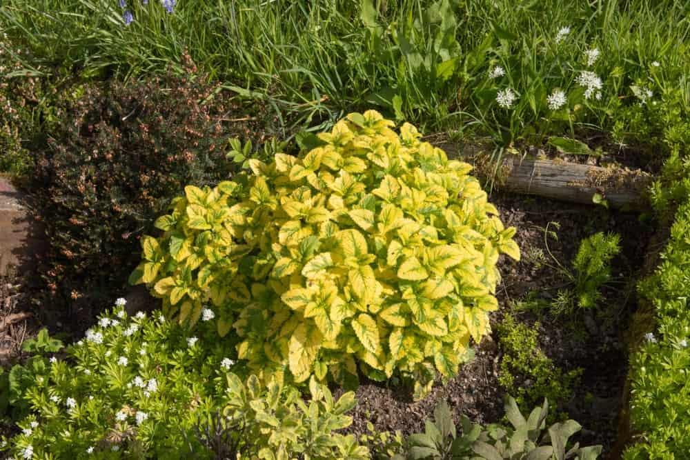 Variegated lemon balm; a cultivar of the lemon balm plant