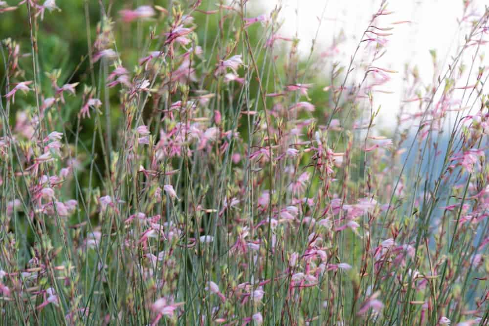 Wandflower; a variety of the gaura plant