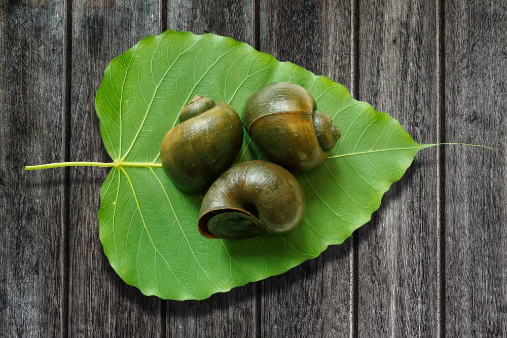 A trio of Apple Snails on a heart-shaped green leaf against a wooden background.