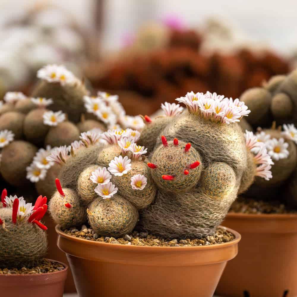 The Mammillaria lenta cactus in pot