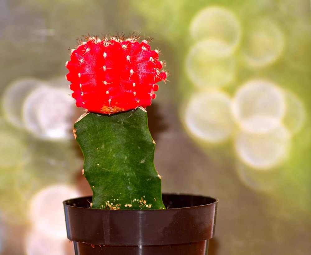 Moon Cactus (Gymnocalycium mihanovichii)