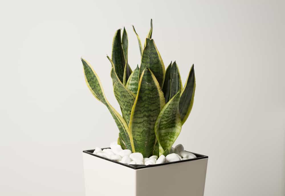 Snake Plant (Sansevieria trifasciata)