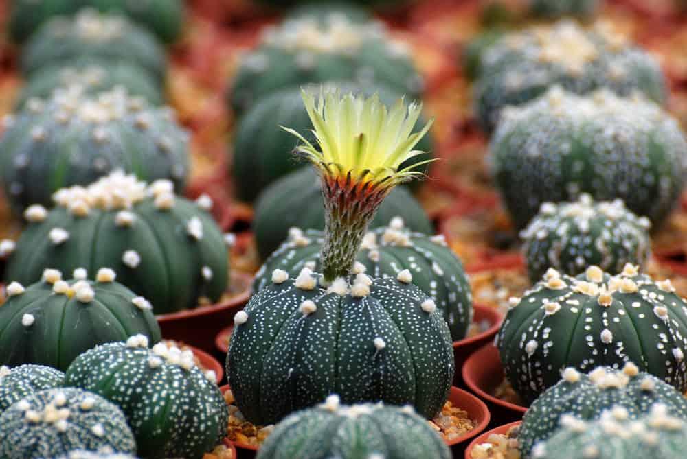Star Cactus (Astrophytum asteria)