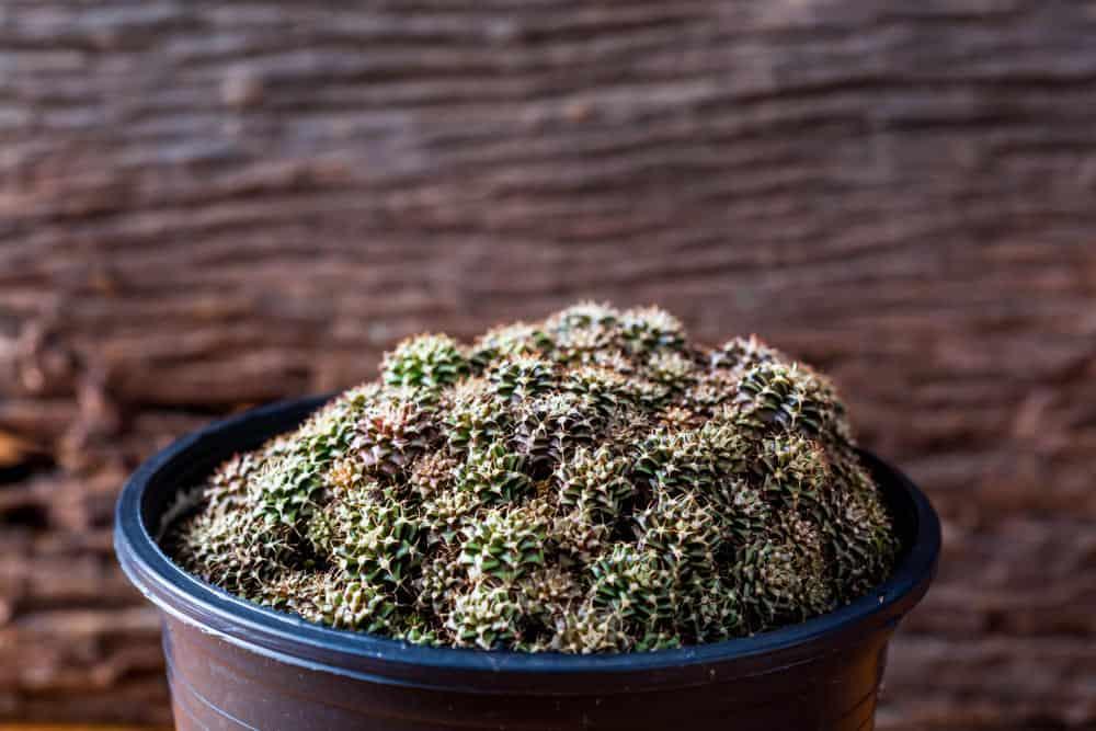 Chin Cactus (Gymnocalycium)