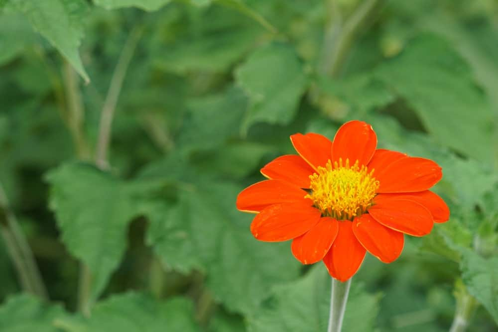 Fiesta del Sol; a variety of the Tithonia plant