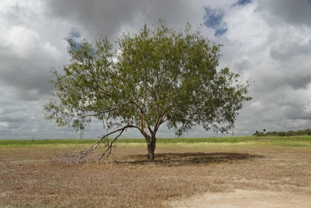 A mature mesquite tree