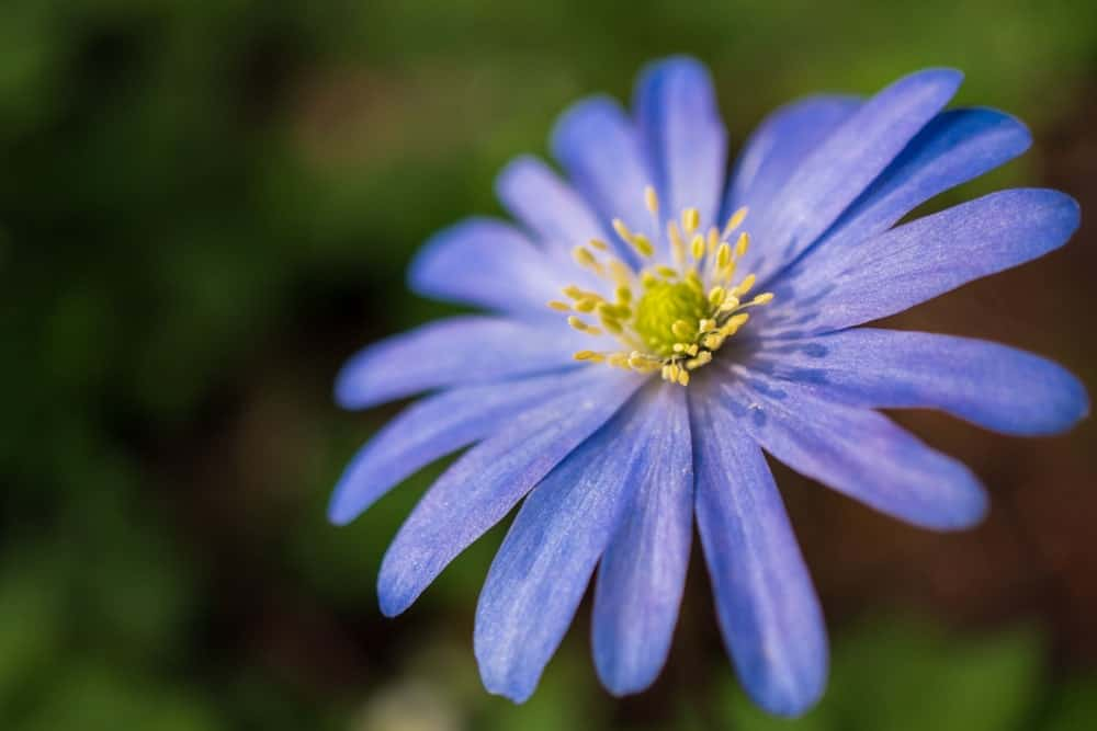 Anemone blanda 'blue shades'; a variety of windflower