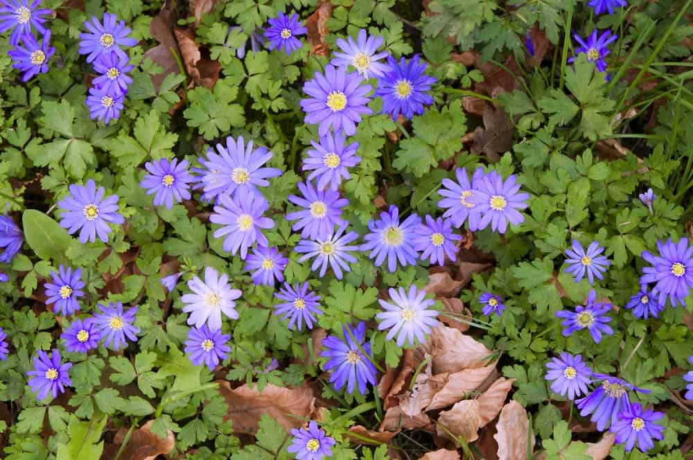 Anemone blanda 'blue star'; a variety of windflower