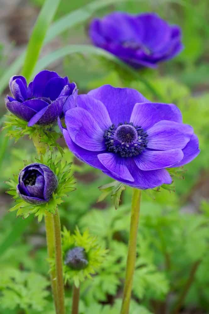 Anémone coronaria 'Blue Poppy';  une variété de windflower