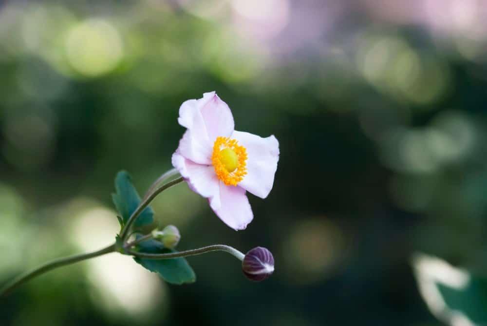Rêve de cygne;  une variété de windflower