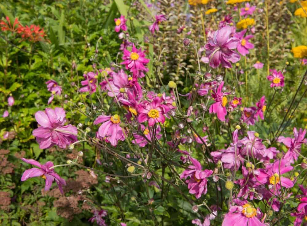 Anemone hupehensis 'Bressingham Glow'; a variety of windflower