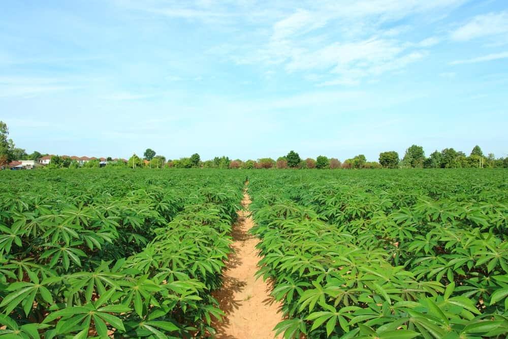 Cassava Tuberousroots