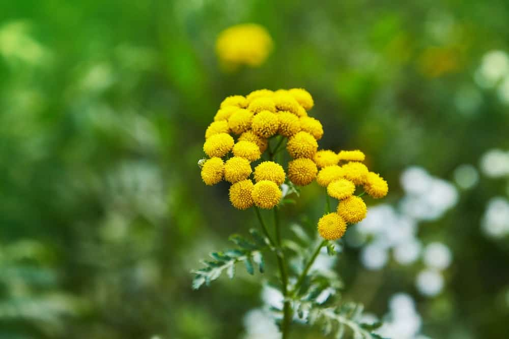 Bright yellow flowers of the tansy plant