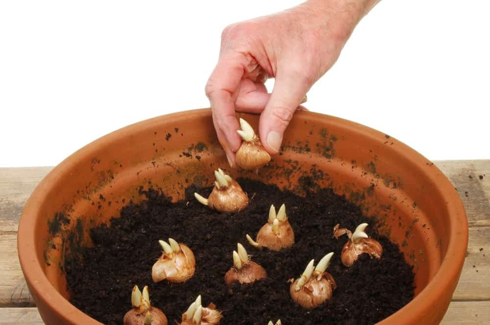 Hard planting Crocus bulbs