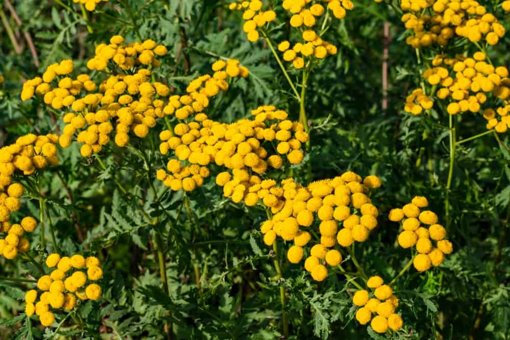 Clusters of bright yellow flowers