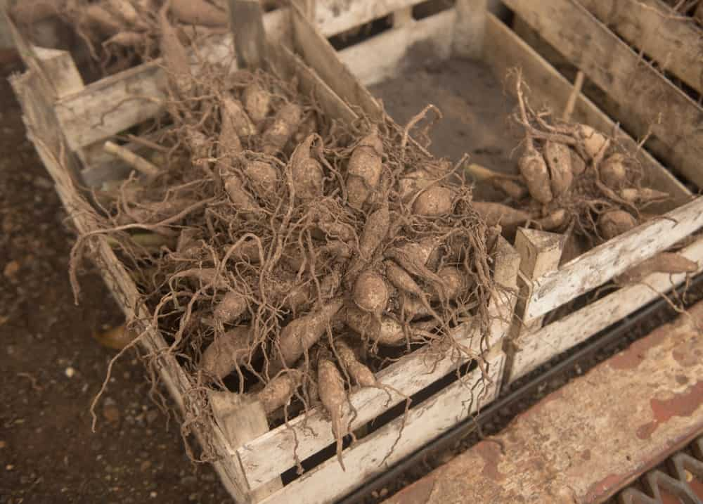 Dahlia Tubers with roots