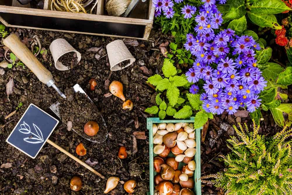 Bulbs for planting