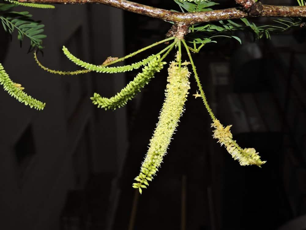 Leaves of the honey mesquite tree