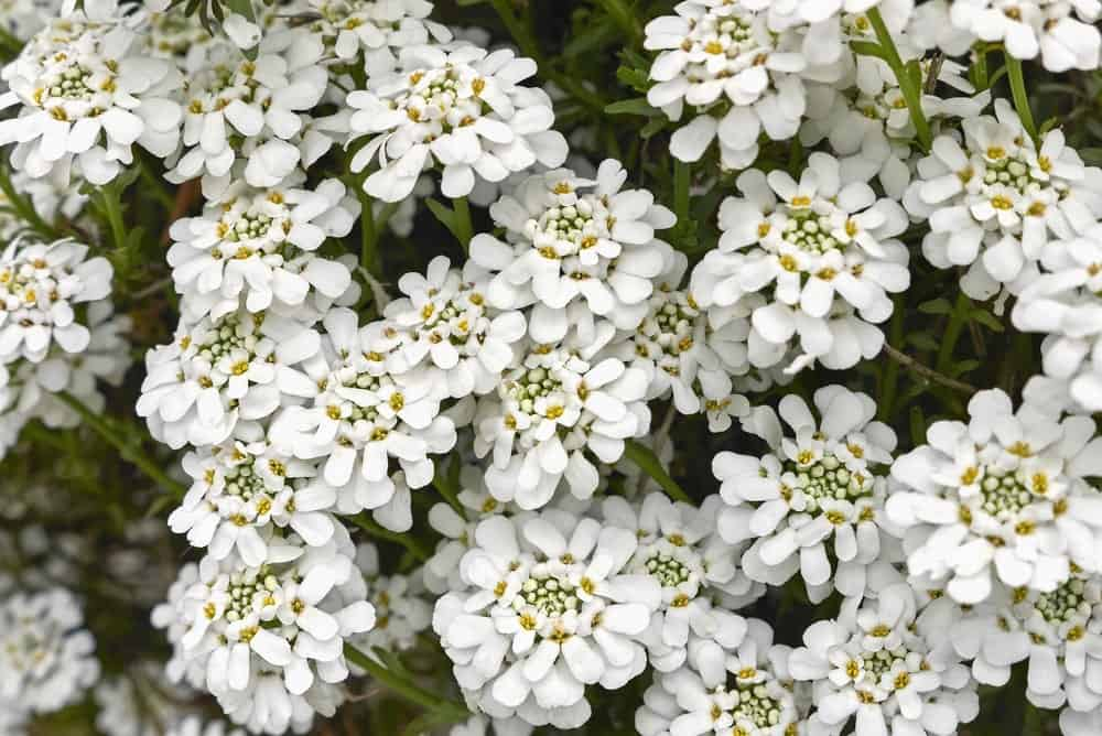 Iberis sempervirens; a variety of the snow in summer plant
