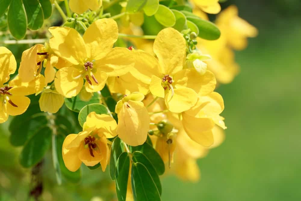Flowers of the Indian Senna plant