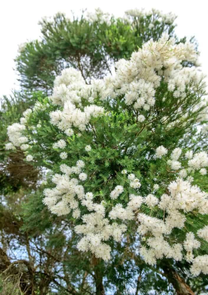 Melaleuca decora; a variety of the snow in summer plant