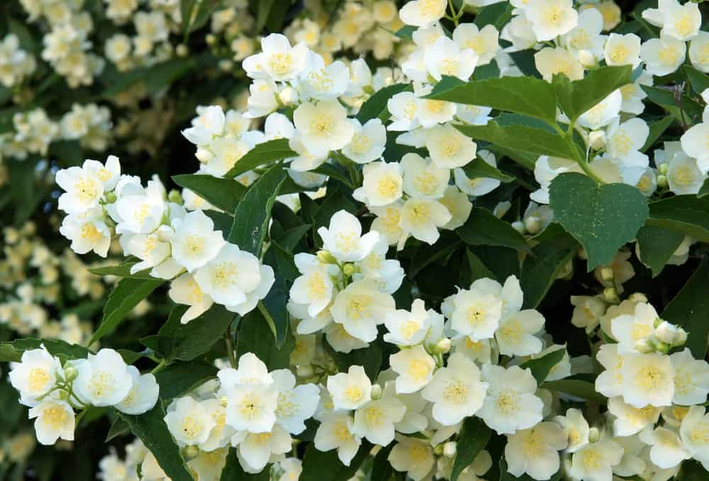 Philadelphus; a variety of the snow in summer plant