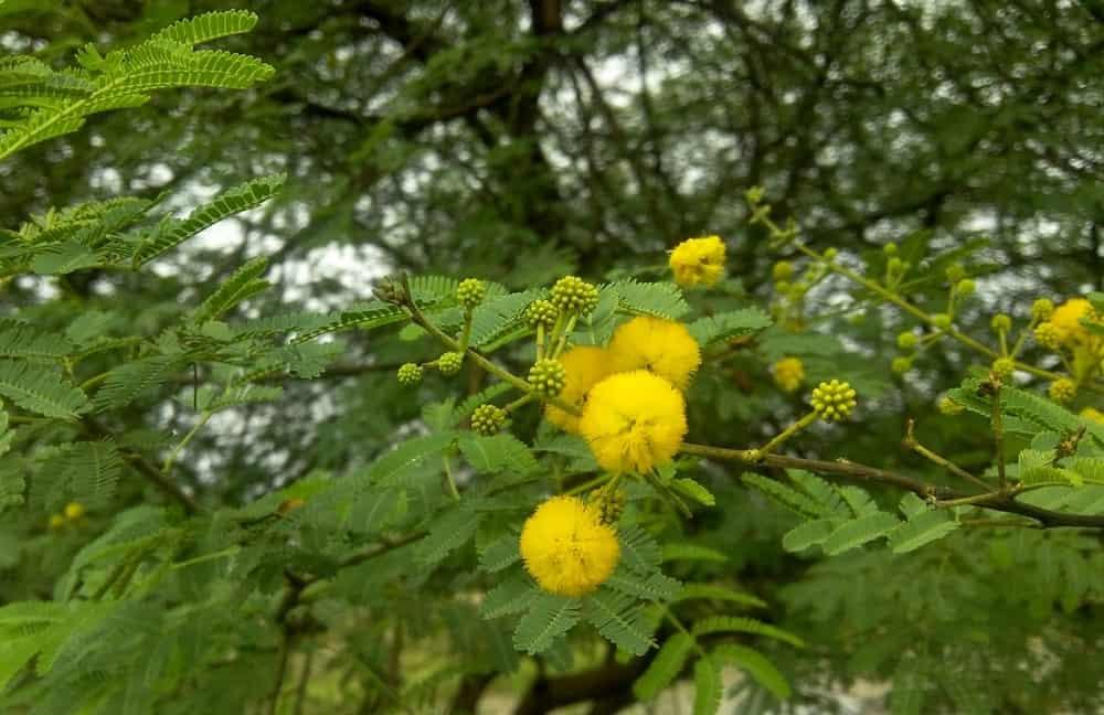 Flowers of Prosopis juliflora