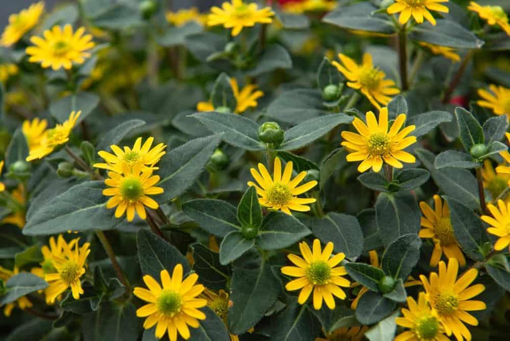 Sanvitalia flowers