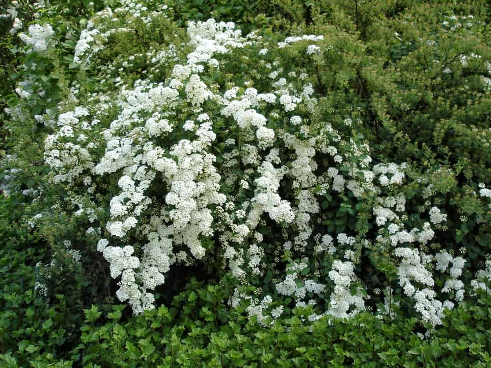 Spiraea cantoniensis; a variety of the snow in summer plant