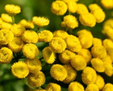 Bright yellow tansy flowers