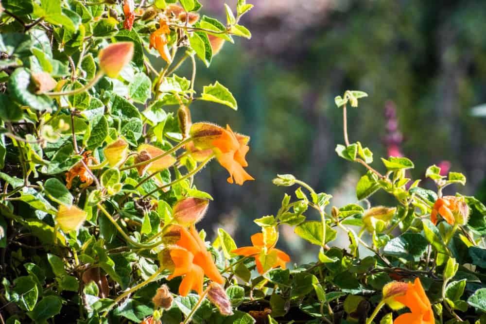 Orange flowers of Thunbergia gregorii